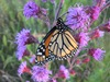 Monarchs in the Arb
