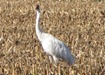 Whooping_Cranes_by_Nancy_Braker_81 010