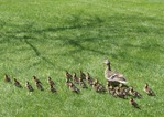 mama Mallard and 24 ducklings