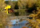 Monarch butterfly near Lyman Lakes, Carleton College