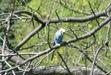 Northfield parakeet