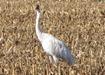 Whooping_Cranes_by_Nancy_Braker_81 010