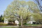 tree at 309 N. Linden st.