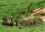 mama Mallard and 24 ducklings