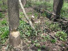 Arb beavers